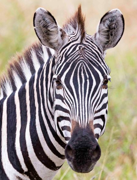 _E7A7889 Zebra face web ready.jpg