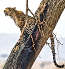 _E7A1993 Leopard in a tree web ready