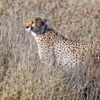 _E7A2042 Cheetah through the grass web ready