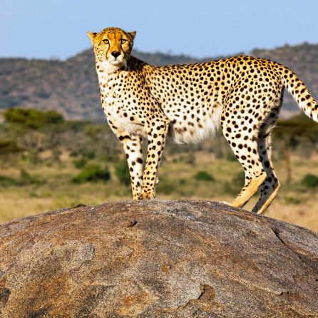 _E7A2059 Cheetah on rock web ready
