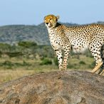 _E7A2061 Cheetah on rock side glance web ready