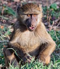 _M9A0315 Small Baboon web ready
