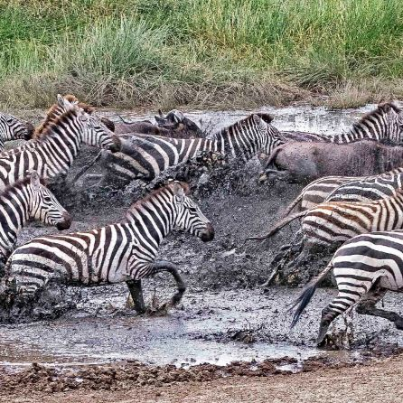 _M9A1765 Zebra and wildebeest sprinting out of the water hole web ready