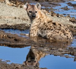 _M9A2235 Hyena in the mud reflection web ready