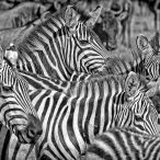 _M9A3887 Cluster of Zebras web ready