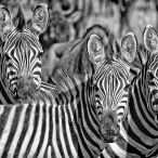 _M9A3892 3 zebras looking at me B&W web ready
