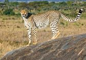 _M9A3975 Cheetah on a rock web ready