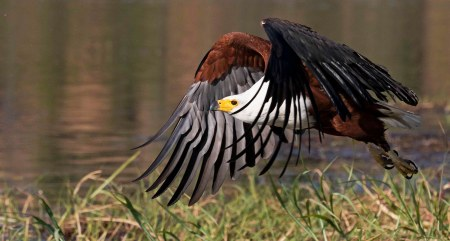 _51A3600 Fish Eagle take-off web ready WEB SITE