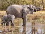 _Y5A2852 Moremi elephant and calf at water drinking web ready
