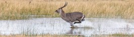 _Y5A2911 Waterbuck on the run WEB SITE