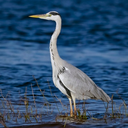_Y5A8145 Heron on Chobe River in evening light web ready